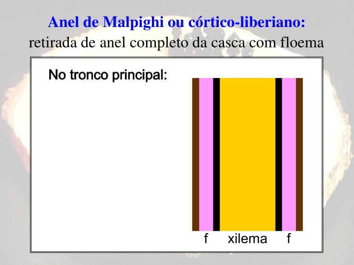 Anel de Malpighi ou córtico-liberiano: