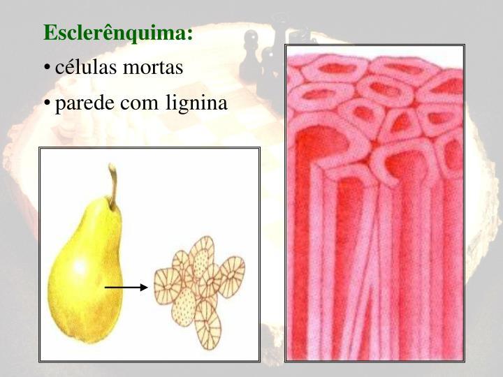Esclerênquima: