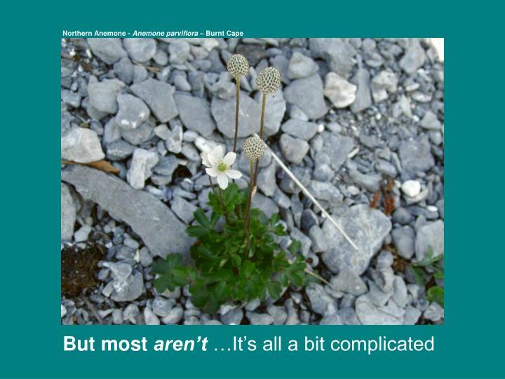 Northern Anemone -