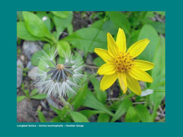 Longleaf Arnica – Arnica lonchophylla – Humber Gorge