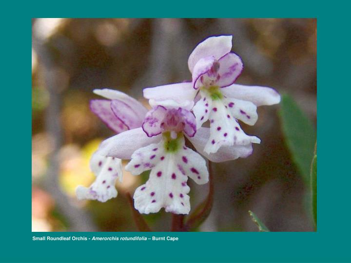 Small Roundleaf Orchis -