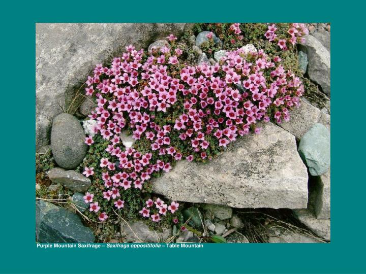 Purple Mountain Saxifrage –