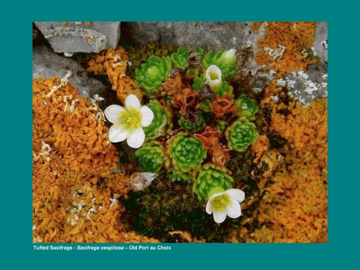 Tufted Saxifrage -