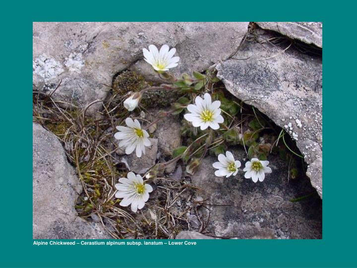 Alpine Chickweed – Cerastium alpinum subsp. lanatum – Lower Cove