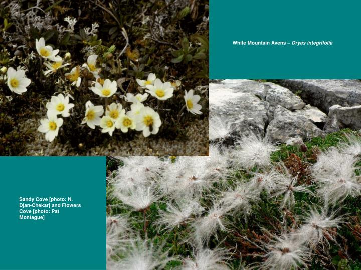 White Mountain Avens –