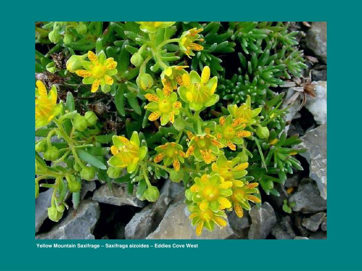 Yellow Mountain Saxifrage – Saxifraga aizoides – Eddies Cove West