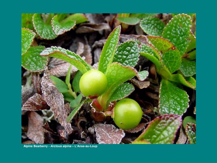 Alpine Bearberry -