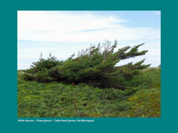 White Spruce –