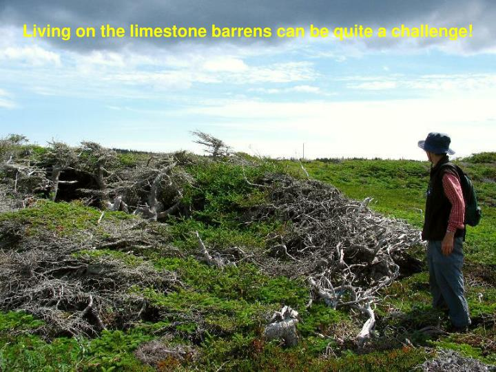Living on the limestone barrens can be quite a challenge!