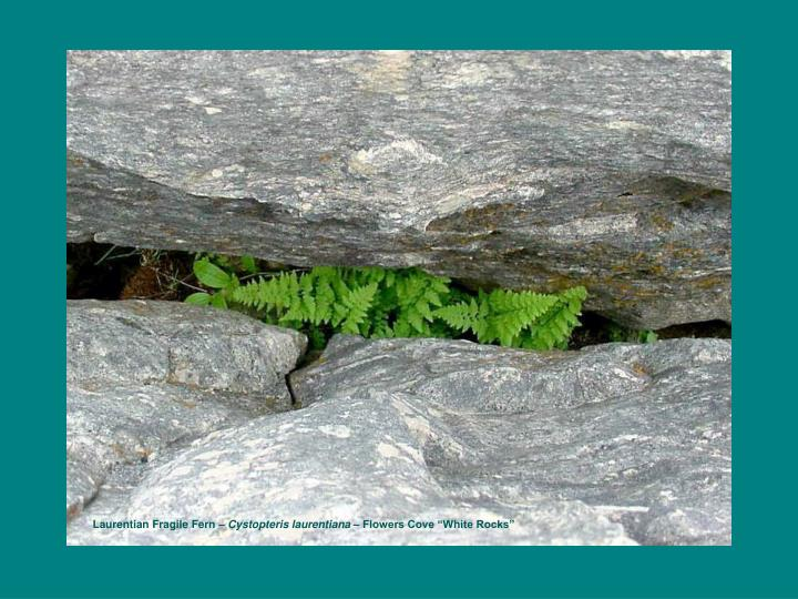Laurentian Fragile Fern –
