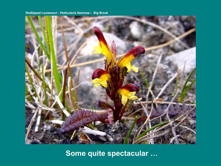 Redtipped Lousewort -