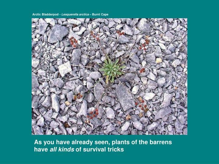Arctic Bladderpod -