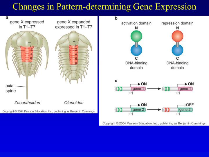 Changes in Pattern-determining Gene Expression