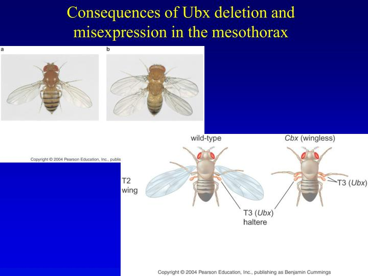 Consequences of Ubx deletion and misexpression in the mesothorax