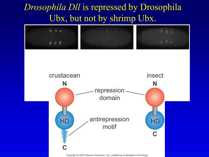 Drosophila Dll