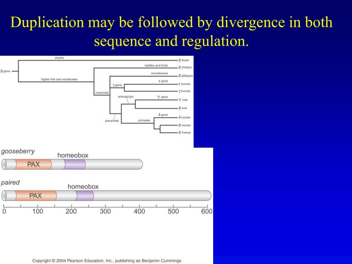 Duplication may be followed by divergence in both sequence and regulation.