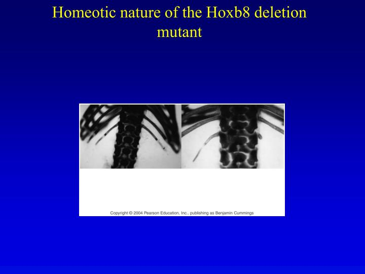 Homeotic nature of the Hoxb8 deletion mutant
