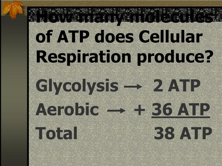 How many molecules of ATP does Cellular Respiration produce?