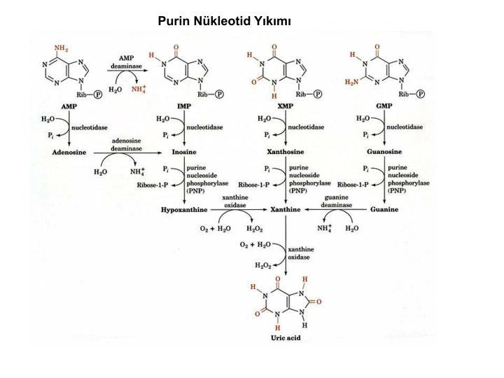Purin Nükleotid Yıkımı