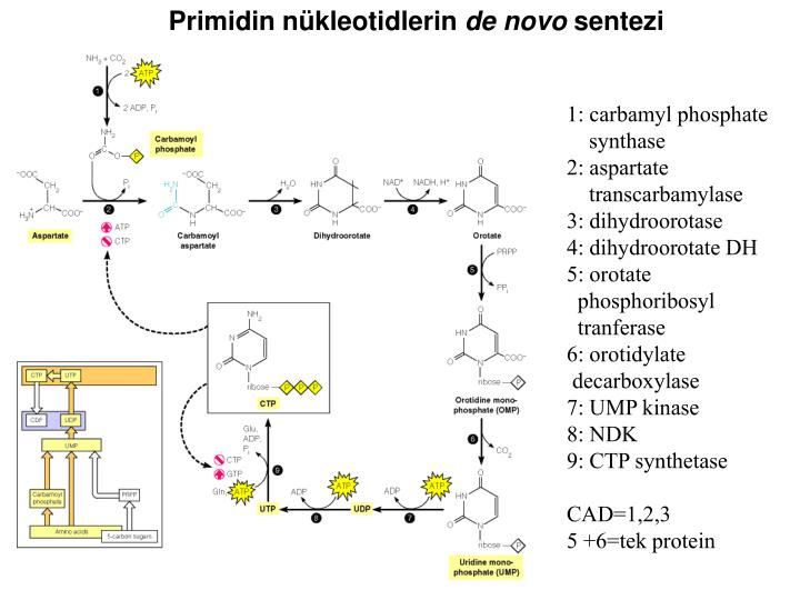 Primidin nükleotidlerin