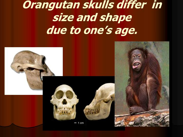 Orangutan skulls differ  in size and shape