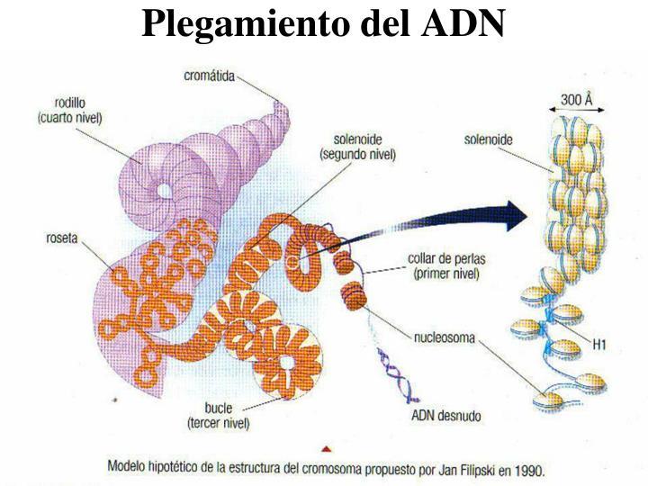 Plegamiento del ADN