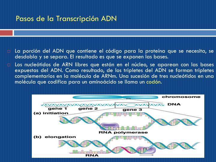 Pasos de la Transcripción ADN