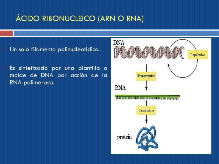 ÁCIDO RIBONUCLEICO (ARN O RNA)