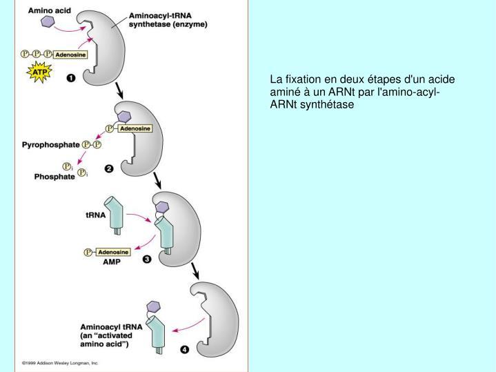 La fixation en deux étapes d'un acide aminé à un ARNt par l'amino-acyl-ARNt synthétase