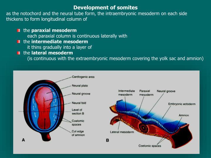 Development of somites
