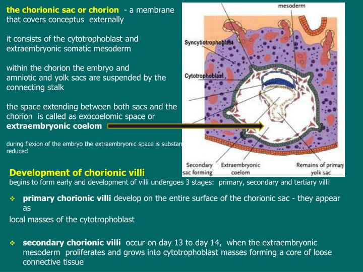 the chorionic sac or chorion