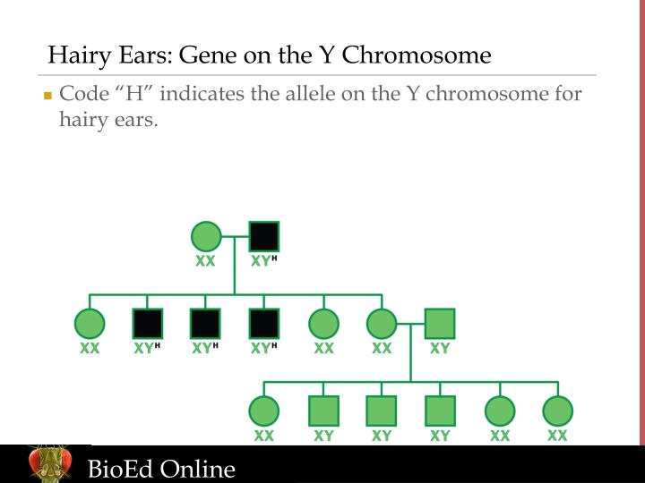 Hairy Ears: Gene on the Y Chromosome