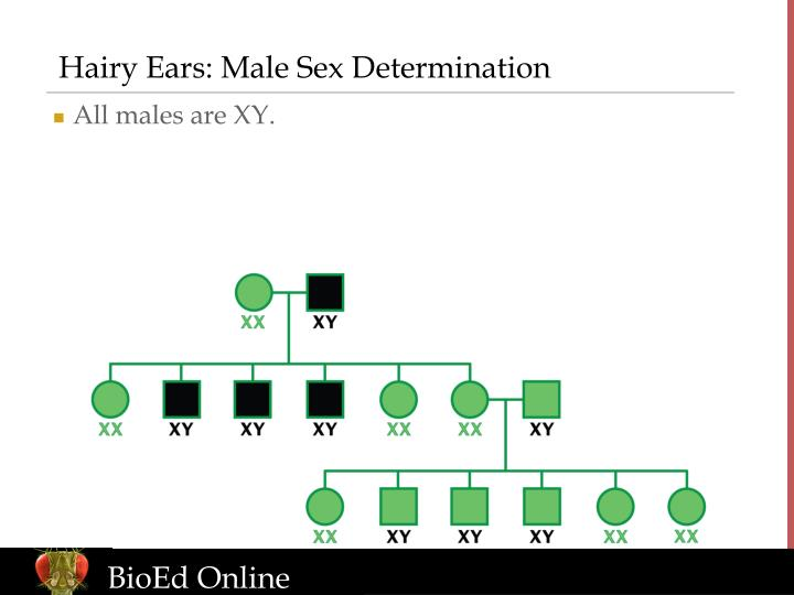 Hairy Ears: Male Sex Determination