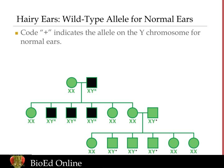 Hairy Ears: Wild-Type Allele for Normal Ears