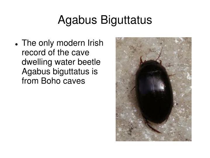 Agabus Biguttatus