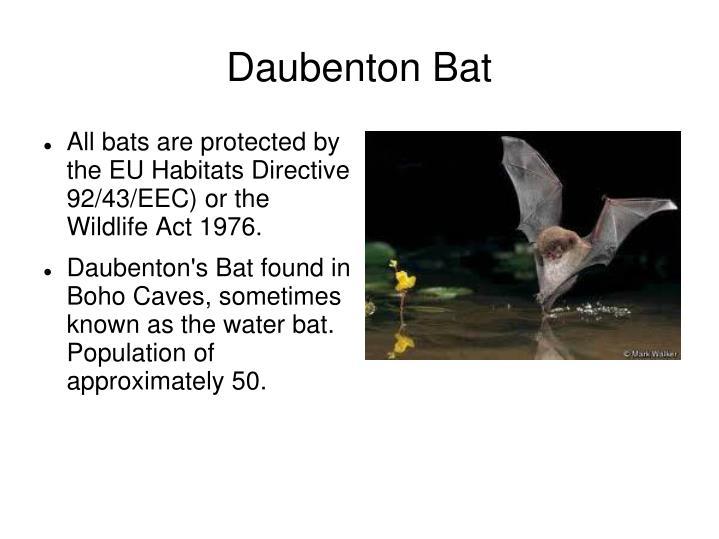 Daubenton Bat