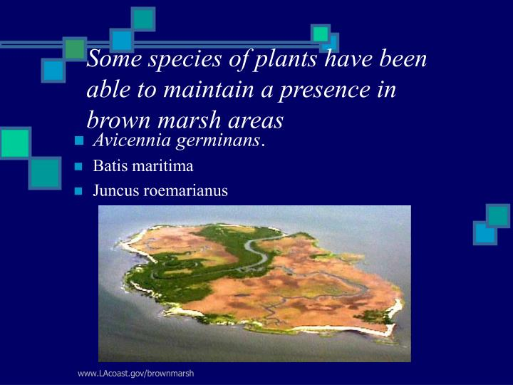 Some species of plants have been able to maintain a presence in  brown marsh areas
