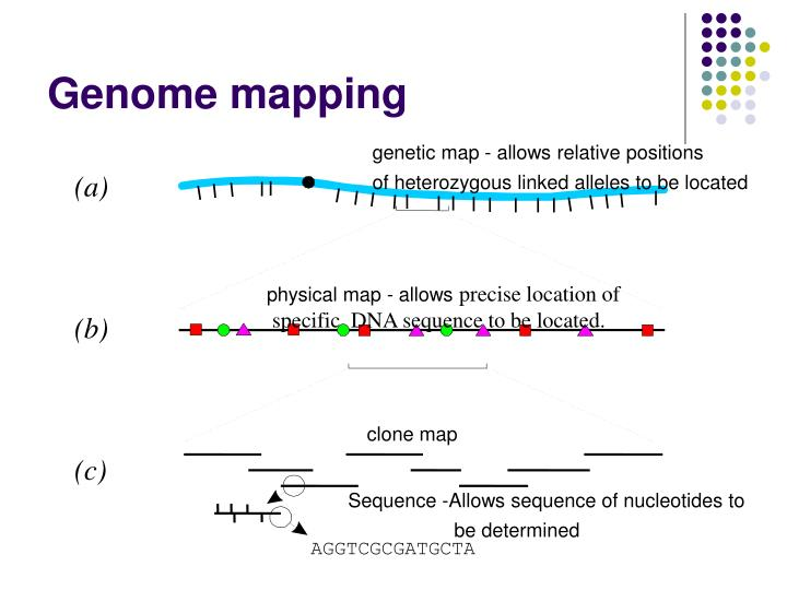 genetic map - allows relative positions