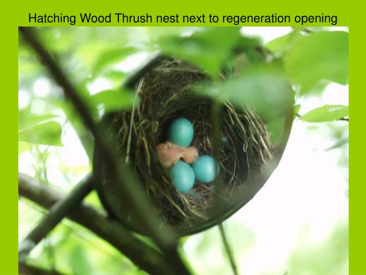 Hatching Wood Thrush nest next to regeneration opening