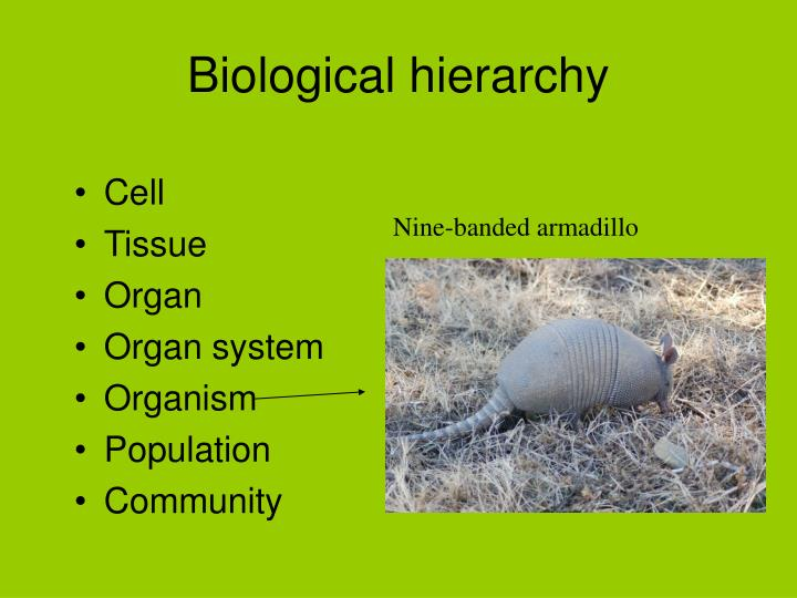 Biological hierarchy