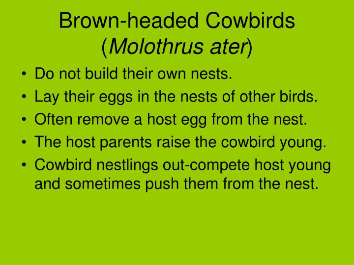 Brown-headed Cowbirds (