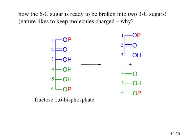 now the 6-C sugar is ready to be broken into two 3-C sugars!