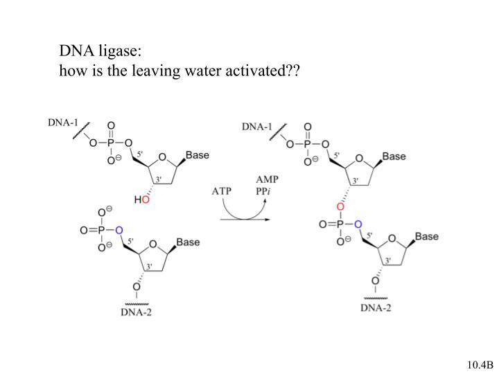 DNA ligase: