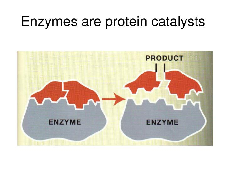 Enzymes are protein catalysts