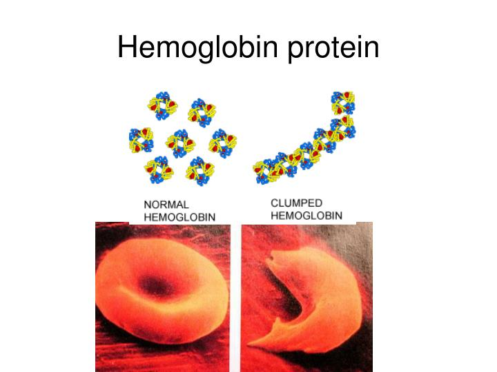 Hemoglobin protein