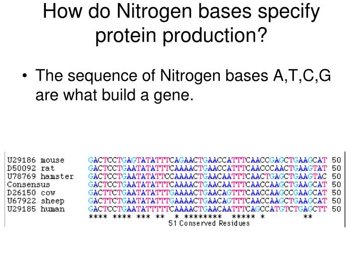 How do Nitrogen bases specify protein production?