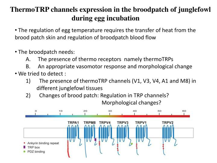 ThermoTRP channels expression in the broodpatch of junglefowl