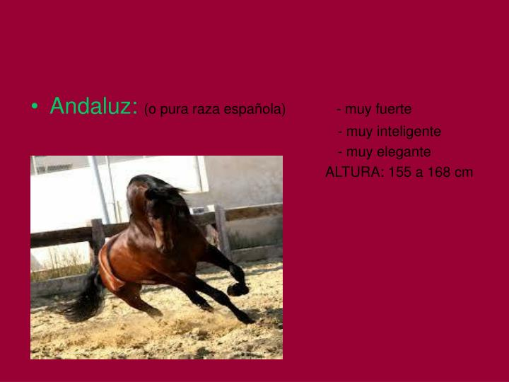 Andaluz: