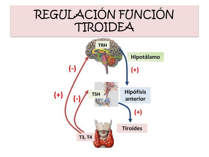 REGULACIÓN FUNCIÓN TIROIDEA