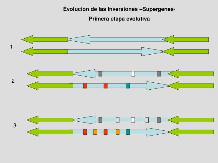 Evolución de las Inversiones –Supergenes-